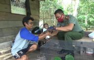 Terpisah dari Induknya, Bayi Orangutan Diselamatkan Warga