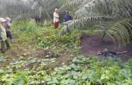 Mayat Tanpa Identitas Tergeletak di Kebun Sawit